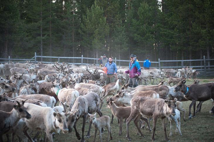 The Reindeer Herders #01