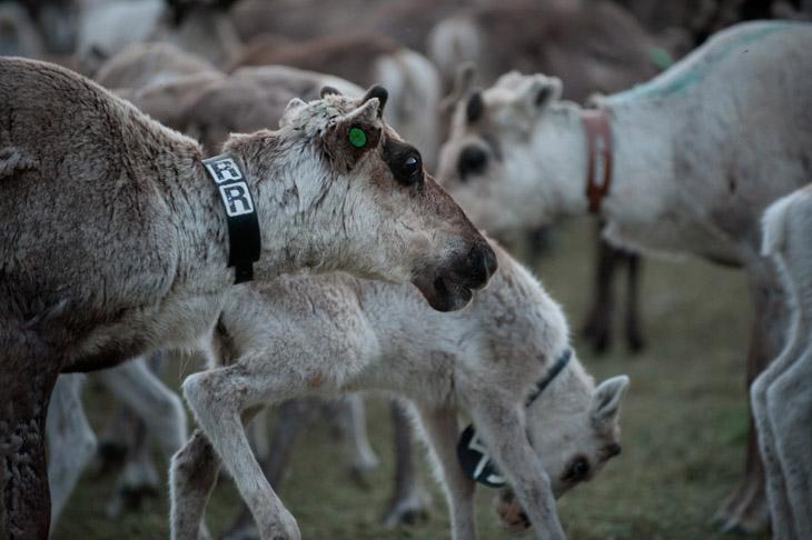 The Reindeer Herders #03