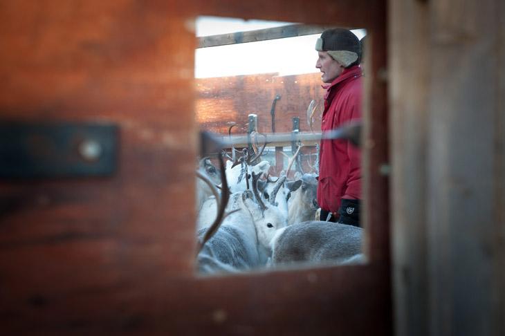 The Reindeer Herders #11