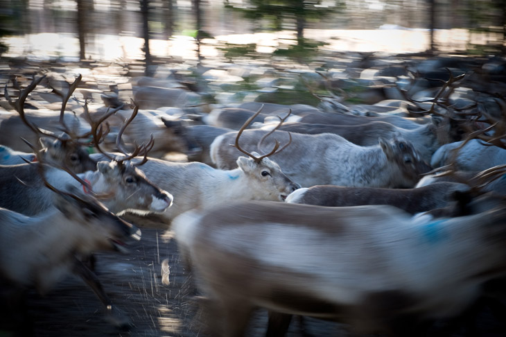 The Reindeer Herders #14