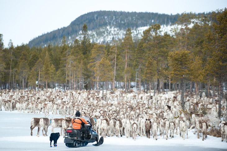 The Reindeer Herders #16